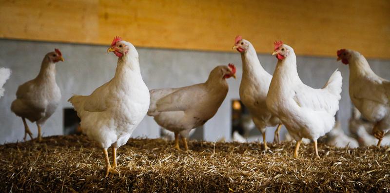 Hühner auf dem Strohballen-Hasenberghof
