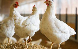 Hasenberghof-Hühner auf Strohballen