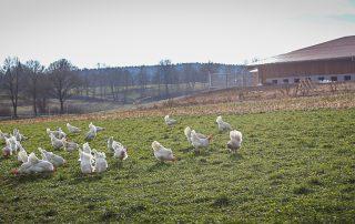 Hühner vom Hasenberghof im Auslauf