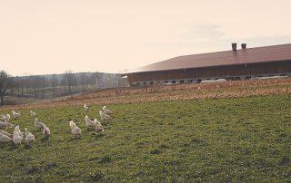 Hühner bei Abenddämmerung- Hasenberghof