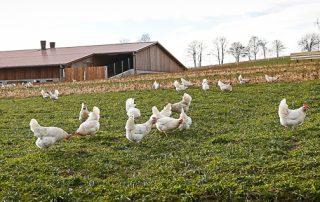 Weidebild der Hasenberghühner