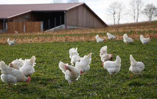 Hühner im Auslauf Nr 4