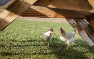 Zwei Hühner vom Hasenberghof