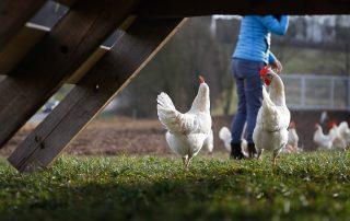 Hühner Hasenberhof
