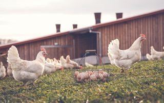 Hühner im Auslauf Eier Nr 2- Hasenberghof