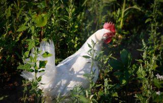Weidehühner vom Hasenberghof