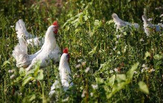 2. Bild von Hühnern im Hasenberghof Auslauf